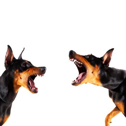 Doberman Pinscher「Dobermans barking at each other」:スマホ壁紙(11)