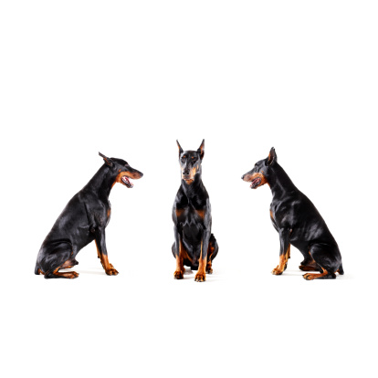 Doberman Pinscher「Dobermans barking at each other」:スマホ壁紙(0)