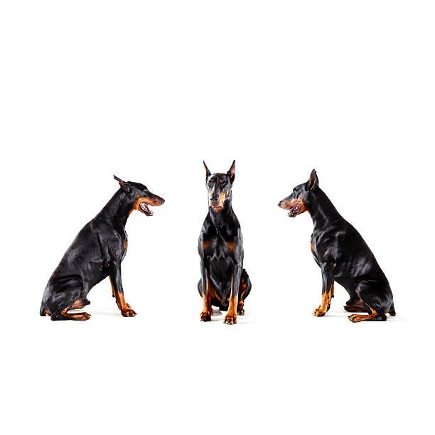 Dobermans barking at each other:スマホ壁紙(壁紙.com)