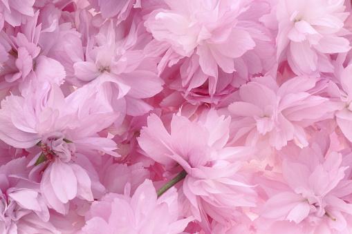 Girly「Full frame shot of pink cherry blossom.」:スマホ壁紙(7)