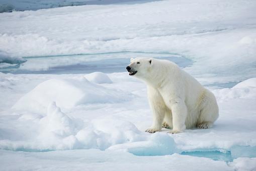 Polar Bear「Female polar bear (Ursus Maritimus) sitting on snow, Spitsbergen, Svalbard, Norway」:スマホ壁紙(15)