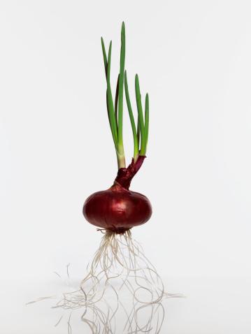 Onion「Red onion, studio shot」:スマホ壁紙(14)
