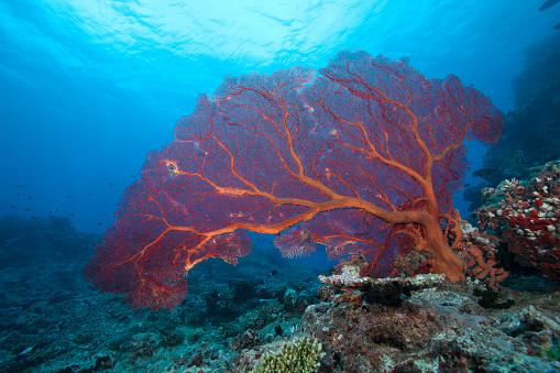 Soft Coral「A large gorgonian sea fan on a Fijian reef.」:スマホ壁紙(1)