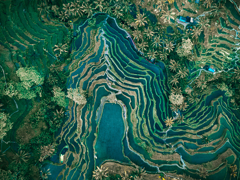Indonesia「Aerial view of rice terraces, Tegallalang, Bali, Indonesia」:スマホ壁紙(0)