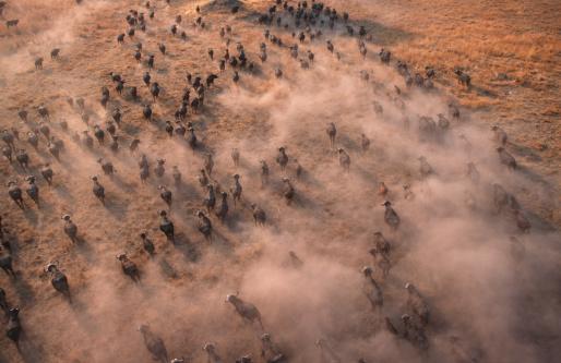 Horned「Aerial view of cape buffalo herd, Syncerus caffer, Okovango Delta, Botswana, Sub-Saharan Africa.」:スマホ壁紙(17)