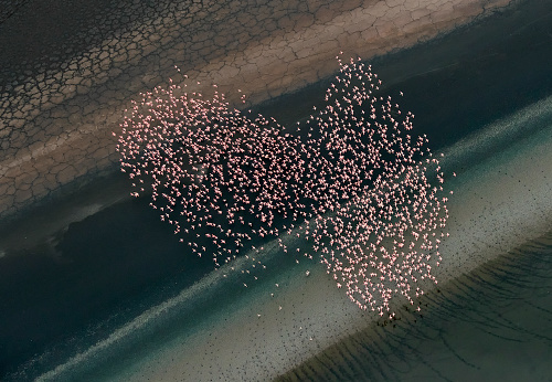 Flock Of Birds「Aerial view of Lesser Flamingos flying over shallow water lake beside lakeshore」:スマホ壁紙(0)