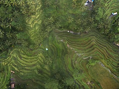田畑「Aerial view of the Tegallalang Rice Terrace」:スマホ壁紙(18)