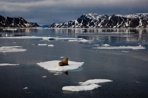 Pack Ice「Walrus on pack ice Northwestern Spits」:スマホ壁紙(9)