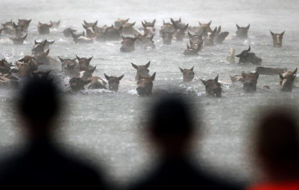 Horse「Assateague Wild Ponies Make Annual Swim To Chincoteague Island」:写真・画像(17)[壁紙.com]