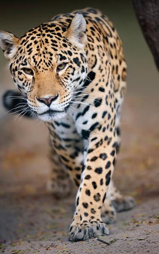 Approaching「approaching jaguar」:スマホ壁紙(5)
