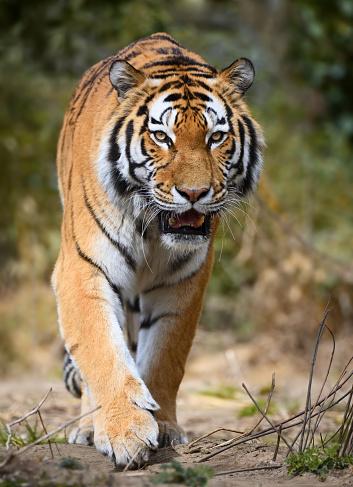 Tiger「approaching tiger」:スマホ壁紙(16)