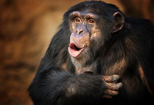 Discussion「Singing common chimpanzee」:スマホ壁紙(14)