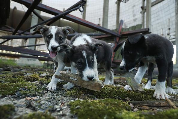 Animal Themes「The Stray Dogs Of Chernobyl」:写真・画像(6)[壁紙.com]