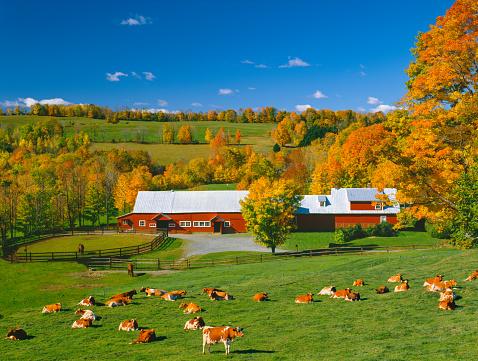 グリーン山脈「サトウカエデと乳牛、バーモントの秋のニュー イングランドの赤い納屋」:スマホ壁紙(12)