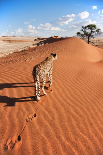 Walking「Cheetah in desert environment.」:スマホ壁紙(10)