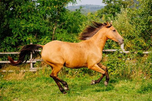 Horse「Buckskin horse cantering in a field, Brasov, Romania」:スマホ壁紙(12)