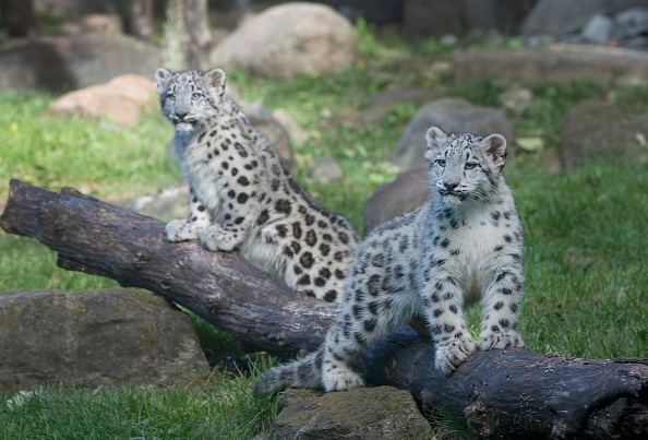 Big Cat「Snow Leopard Cubs Make Their Public Debut At Chicago's Brookfield Zoo」:写真・画像(2)[壁紙.com]