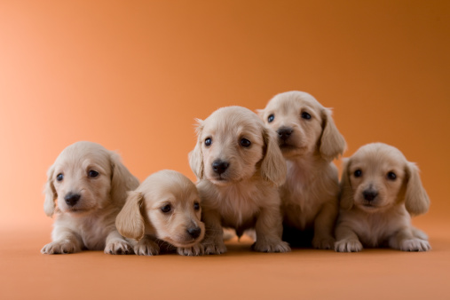 Puppy「Five Dachshund Puppies」:スマホ壁紙(2)