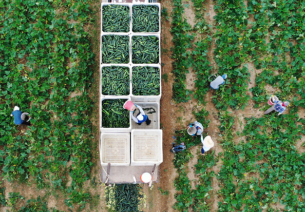 Vegetable「Essential Farm Workers Continue Work As Florida Agriculture Industry Struggles During Coronavirus Pandemic」:写真・画像(15)[壁紙.com]