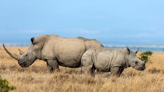 Horned「White rhino with baby」:スマホ壁紙(9)