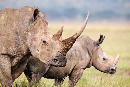 Horned「White Rhino.(Ceratotherium simum) Female and calf. Lake Nakuru National Park. Kenya」:スマホ壁紙(16)