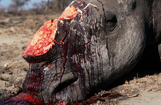 大昔の「White Rhino Poached for Horn」:スマホ壁紙(1)