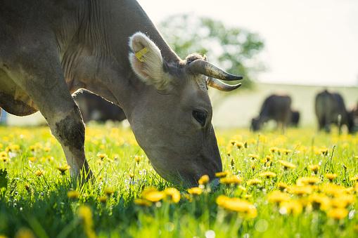 Females「Cow grazing on a meadow with dandelions」:スマホ壁紙(7)