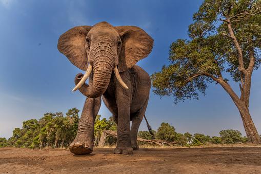 Walking「Afrcan Elephant on the move」:スマホ壁紙(6)