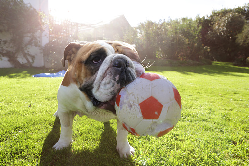 Playing「Bulldog in garden with large ball」:スマホ壁紙(19)