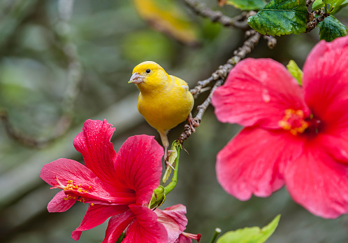 Canary「The Domestic Canary, (Serinus canaria) is a domesticated form of the wild Canary, a small songbird in the finch family originating from the Macaronesian Islands (Azores, Madeira and Canary Islands.)  It has become established on Midway Atoll where it was」:スマホ壁紙(8)