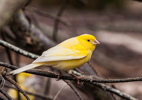 Canary「The Domestic Canary, (Serinus canaria) is a domesticated form of the wild Canary, a small songbird in the finch family originating from the Macaronesian Islands (Azores, Madeira and Canary Islands.)  It has become established on Midway Atoll where it was」:スマホ壁紙(5)