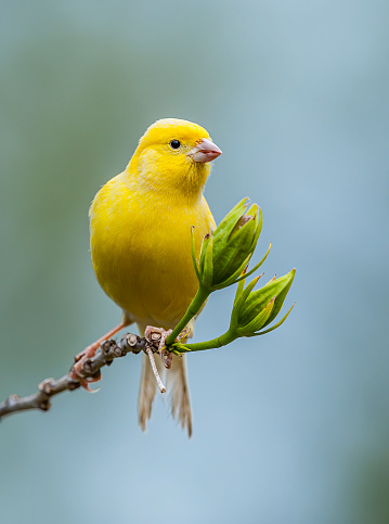 Canary「The Domestic Canary, (Serinus canaria) is a domesticated form of the wild Canary, a small songbird in the finch family originating from the Macaronesian Islands (Azores, Madeira and Canary Islands.)  It has become established on Midway Atoll where it was」:スマホ壁紙(9)