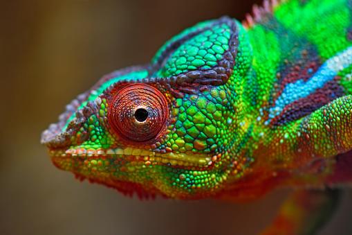 Animal Body Part「colorful panther chameleon」:スマホ壁紙(12)