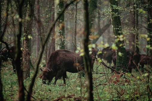 1990-1999「Bialowieza Forest Bison Cow and Calf」:スマホ壁紙(2)