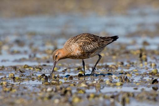 Shallow「Bar-tailed Godwit (Limosa lapponica), feeding on shellfish beds, arctic migrant, New Zealand」:スマホ壁紙(7)