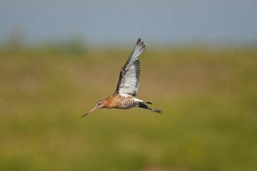 Norfolk - England「Bar-tailed Godwit Limosa lapponica in flight」:スマホ壁紙(13)
