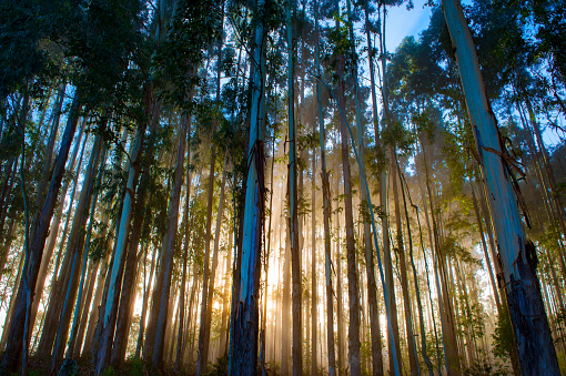 Tropical Tree「Eucalyptus Reforestation - Urubici , Santa Catarina, Brazil」:スマホ壁紙(11)