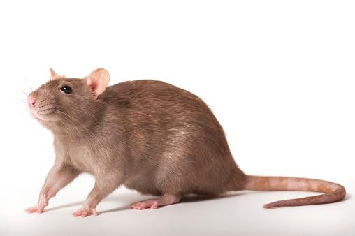 Mammal「Brown Rat, Rattus Norvegicus」:スマホ壁紙(7)