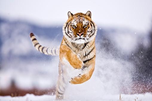 Tiger「Siberian Tiger running towards camera」:スマホ壁紙(10)