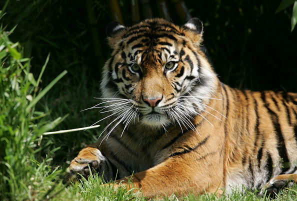 Tiger「FILE: Tiger Kills Man At San Francisco Zoo」:写真・画像(1)[壁紙.com]