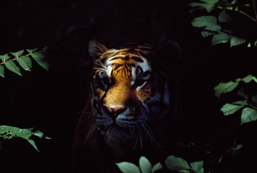 Tiger「Siberian Tiger (Panthera Tigris Altaica) Peers From Forest Shadows」:スマホ壁紙(13)
