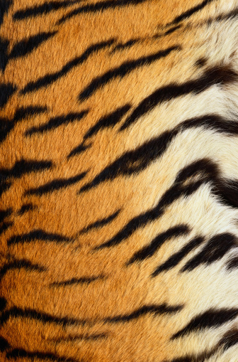 Tiger「Siberian Tiger Fur」:スマホ壁紙(18)
