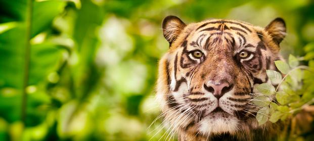 Siberian Tiger「Siberian tiger headshot looking at camera in jungle」:スマホ壁紙(19)