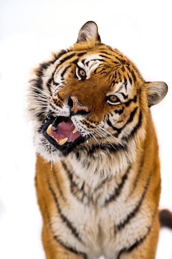 Tiger「Siberian tiger is roaring」:スマホ壁紙(6)