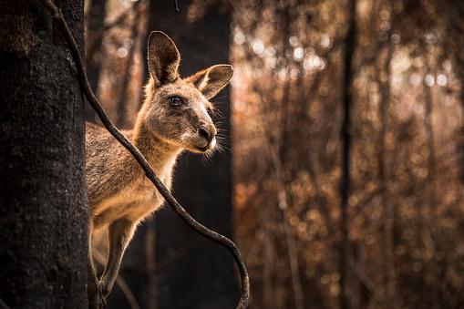 Bush Land「Worried looking Kangaroo in burnt forest after bushfires」:スマホ壁紙(8)