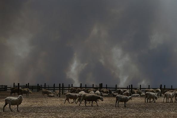 Animal「Kangaroo Island Bushfire Threat Increases As Residents Are Told To Evacuate」:写真・画像(13)[壁紙.com]