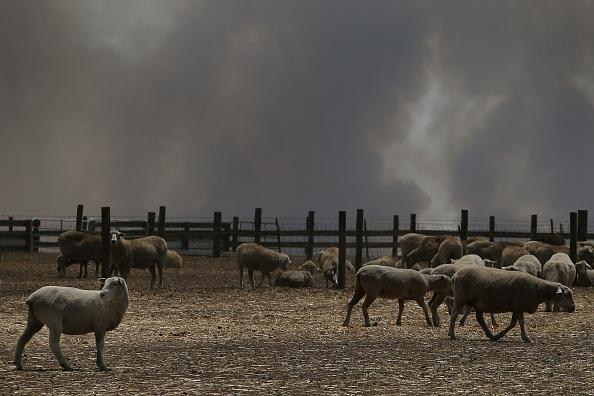 Animal「Kangaroo Island Bushfire Threat Increases As Residents Are Told To Evacuate」:写真・画像(12)[壁紙.com]
