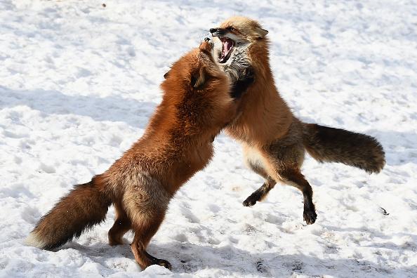 Fox Photos「Foxes in a Snow Field in Miyagi」:写真・画像(16)[壁紙.com]