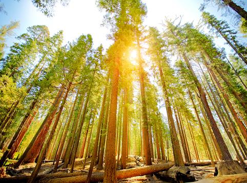 Natural Landmark「Mariposa Grove trees in Yosemite National Park」:スマホ壁紙(9)