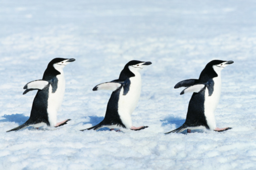 In A Row「Three chinstrap penguins (Pygoscelis antarctica) walking in a row」:スマホ壁紙(2)